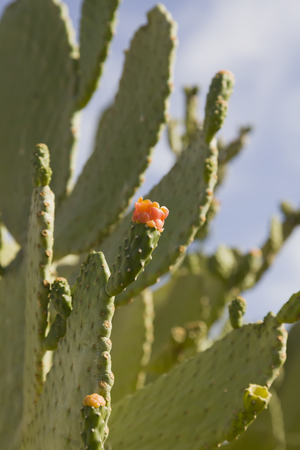 cactus flower: Cactus opuntia flowers on a background of blue sky. Kind of tree without thorns and small red flowers.