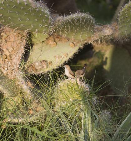 opuntia: Birds on Cactus opuntia.