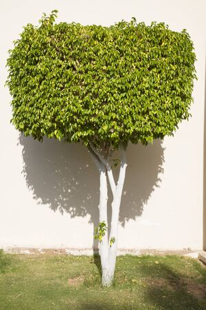 sharm: Ficus tree near white wall in the hotel in Sharm el-Sheikh, Egypt.