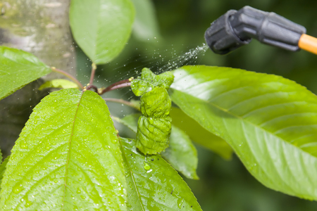 splutter: Device of spraying pesticide. At the center is leaf, damage of insect.