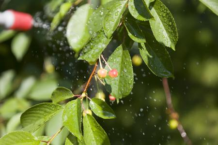 splutter: Device of spraying pesticide. Cherry under the spray.