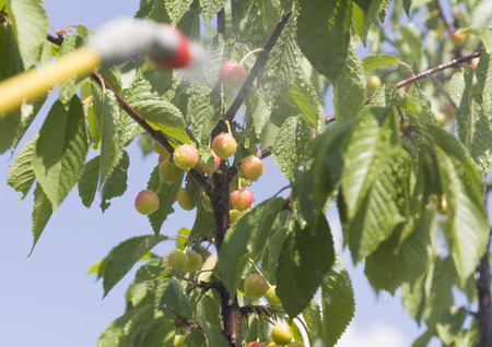 farme: Device of spraying pesticide. Cherry under the spray.