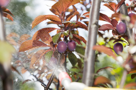 farme: Device of spraying pesticide. Plums under the spray.