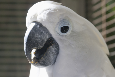 warm climate: Cockatoo is busy eating.