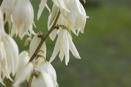 yucca: Bright white flowers of Yucca filamentosa on green background.