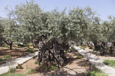 ministration: One of eight ancient olive trees in the Garden of Gethsemane, Jerusalem. Stock Photo