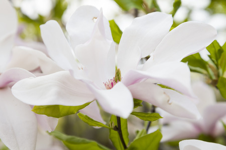 magnolia soulangeana: Flower white and rose color magnolia soulangeana Stock Photo