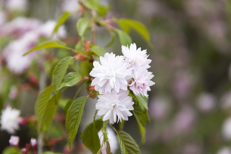 blight: Pink cherry flowers with young leaves. Stock Photo