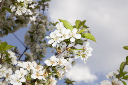springtide: White plum blossoms with young leaves.