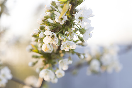 springtide: White organic plum blossoms with young leaves. Extremely light.