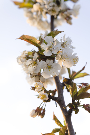 blight: White plum blossoms with young leaves.
