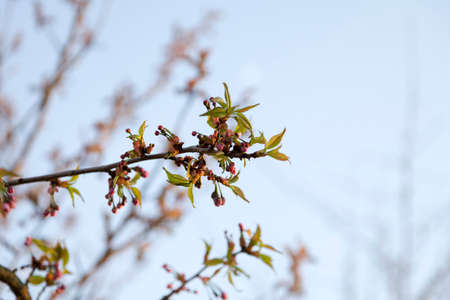 blight: Pink cherry buds with young leaves.