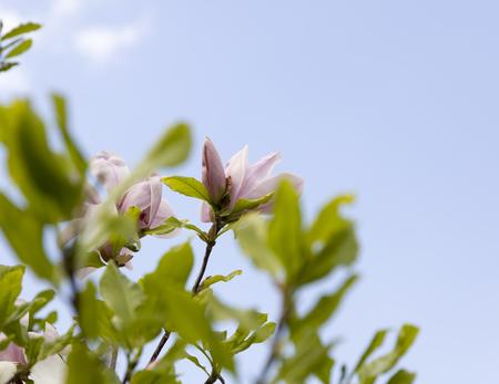 magnolia soulangeana: Flower pink color magnolia soulangeana