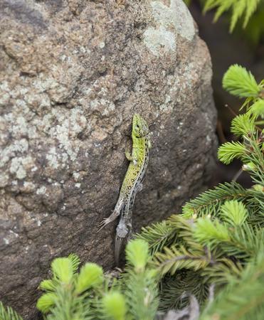 vivipara: spring molting lizard Stock Photo