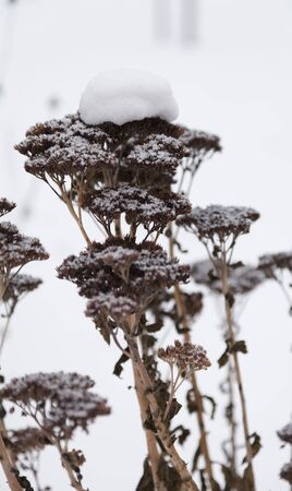 sheeted: Last year plants covered with snow. Dried inflorescences are sheltered with snow.
