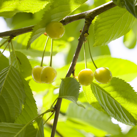 farme: Very bright yellow close-up cherry surrounded green leaves.