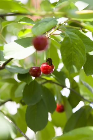 Bright red cherries close-up on green background in light of sun. Stock Photo