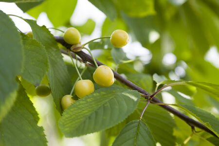 farme: Bright yellow close-up cherry surrounded green leaves.