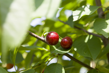 farme: Bright red cherries close-up on green background in light of sun. Stock Photo