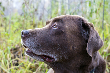 the view of the chocolate labrador to the side.