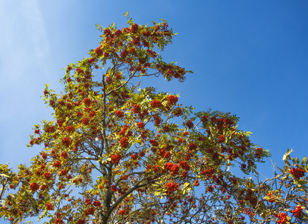 Red mountain ash in the summer among the blue sky Stock Photo
