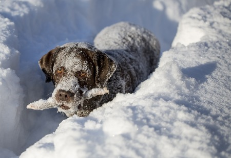 chocolate brown labrador in deep snow. A stick in the teeth.