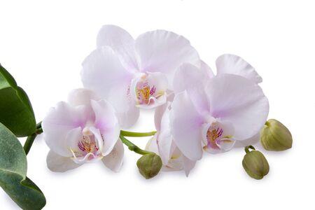delicate: delicate orchid