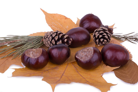 chestnuts and cones photo