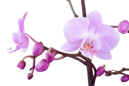 pink orchid: branch of pink orchid
