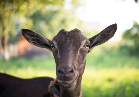 brown goat: Brown goat in the garden