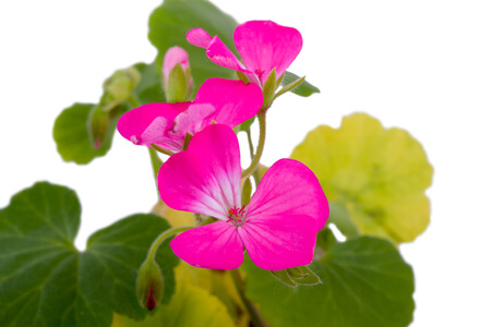 musk: small pink flowers