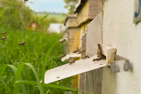 apiary: bees flying into the hive on an apiary