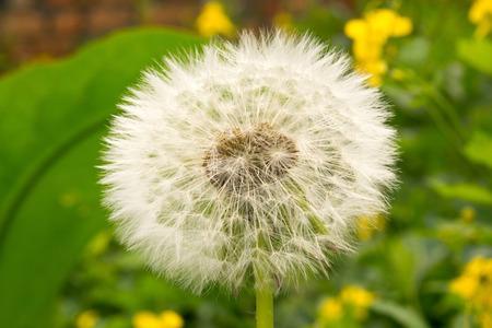 fluffy: blanco esponjoso macro diente de le�n