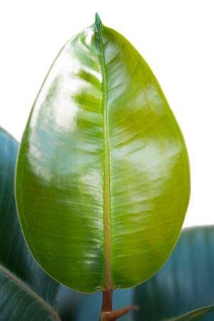 young leaf: una hoja joven de ficus