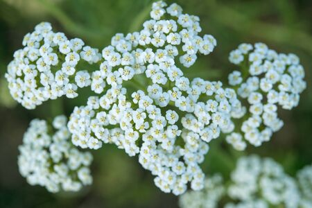 milfoil: white yarrow flowers close-up on a green background
