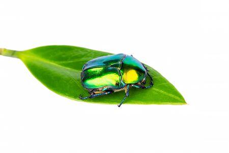 Big green beetle on leaf isolated