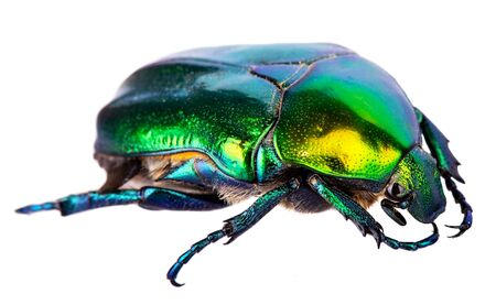 Big splendid green beetle isolated on a white Stok Fotoğraf