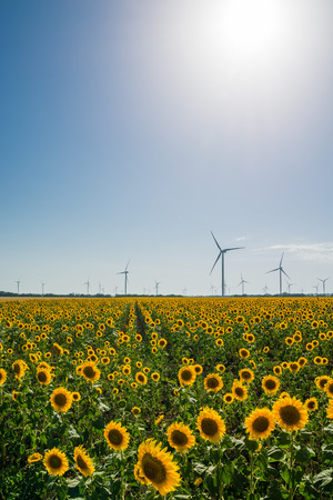 Field with sunflowers and eco power, wind turbines photo