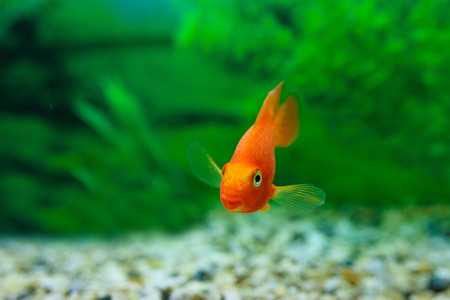 aquarium hobby: Red Blood Parrot Cichlid in aquarium plant green background. Funny orange colourful fish - hobby concept Stock Photo