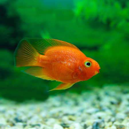 Red Blood Parrot Cichlid in aquarium plant green background. Funny orange colourful fish - hobby concept Stock Photo