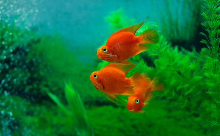 fishtank: Red Blood Parrot Cichlid in aquarium plant green background. Funny orange colourful fish - hobby concept Stock Photo
