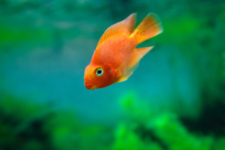 freshwater aquarium plants: Red Blood Parrot Cichlid in aquarium plant green background. Funny orange colourful fish - hobby concept Stock Photo