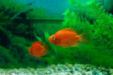 Red Blood Parrot Cichlid in aquarium plant green background. Goldfish, funny orange colorful fish - hobby concept