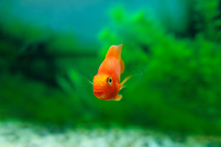 aquarium hobby: Red Blood Parrot Cichlid in aquarium plant green background. Goldfish, funny orange colorful fish - hobby concept