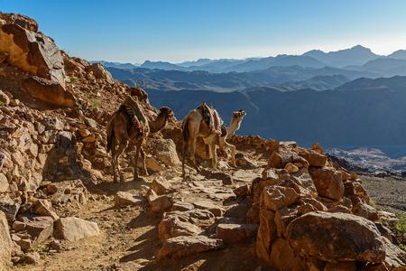 Camels on mountain trail on Moses mountain, Sinai Egypt