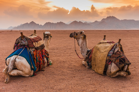 Two camels are in the Sinai Desert, Sharm el Sheikh, Sinai Peninsula, Egypt. Orange beautiful sunset above mountains Banco de Imagens