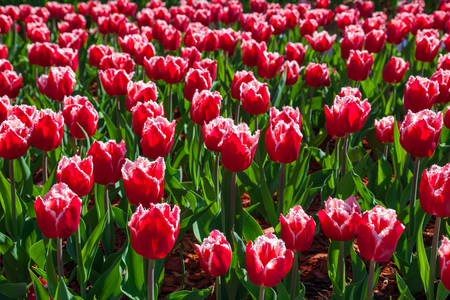 Beautiful bouquet of red and white tulips. Tulip symbol spring celebrate.