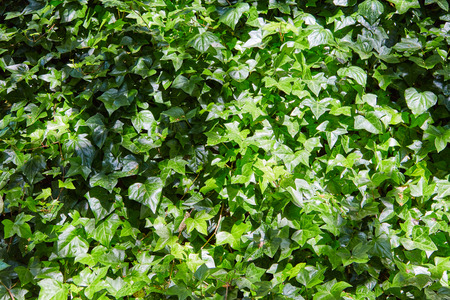 liana: Dense thickets of a green liana on a wall