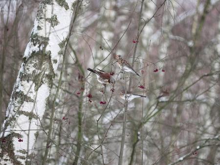 Winter forest. Birds pecking berries. Stock Photo