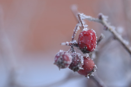 Red Rowan under the snow on a frosty day.